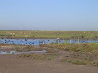 Cormorants at the Werribee River estuary