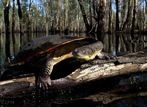 Long neck turtle at Gunbower
