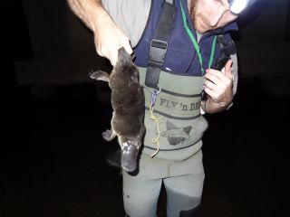 Platypus caught during monitoring, Tarago River, April 2015, by Keith Chalmers