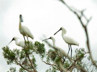 Spoonbills at Dowd Morass, Gippsland