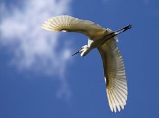 Little Egret - sourced from NCCMA