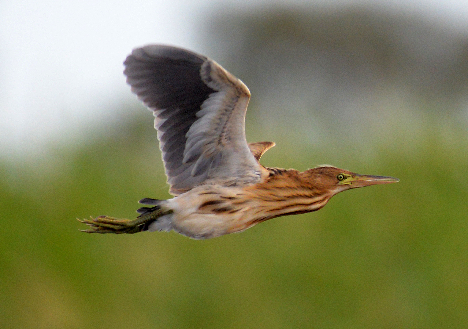 Australian little bittern, Johnson Swamp, by Simon Starr