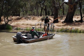Large Murray cod caught during electrofishing surveys, by Jim Castles